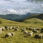 pecore in Abruzzo